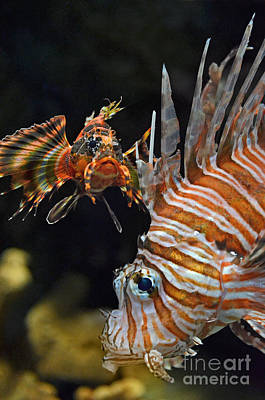 Photograph - Portrait Of A Lionfish  by Jim Fitzpatrick