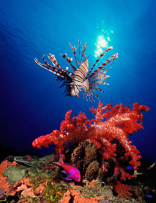 Lionfish Pteropterus Radiata Art Print by Panoramic Images
