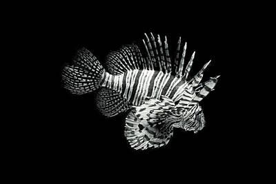 Lionfish Art Print by Robert J Taylor