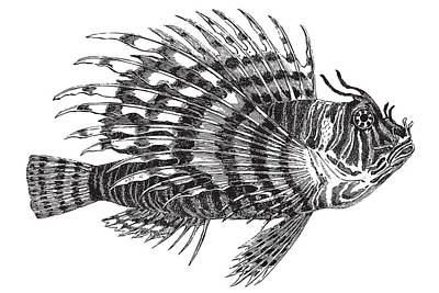 Drawing - Lionfish by Ticky Kennedy LLC
