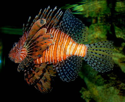 Rebecca West Photograph - Lionfish V by Rebecca West