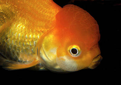 Goldfish Photograph - Lionhead Goldfish by Nigel Downer