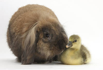 House Pet Photograph - Lionhead Lop Rabbit And Gosling by Mark Taylor