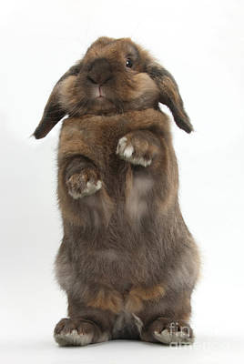 Photograph - Lionhead Lop Rabbit Standing by Mark Taylor
