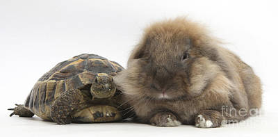 House Pet Photograph - Lionhead Lop Rabbit With Tortiose by Mark Taylor