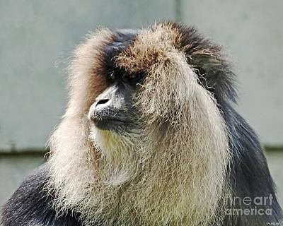 Photograph - Lionhead Macaque by Lizi Beard-Ward