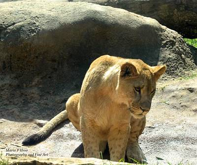 Photograph - Lionness 2 by Maria Urso