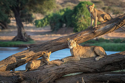 Lioness Wall Art - Photograph - Lions Can't Climb Trees by Jeffrey C. Sink