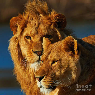 Photograph - Lions Couple Close Together  by Nick  Biemans