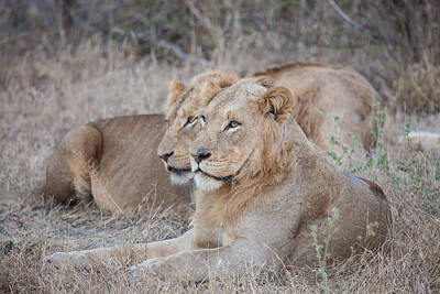 Photograph - Lions by Craig Brown