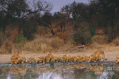 Lions Drinking Art Print by Art Wolfe