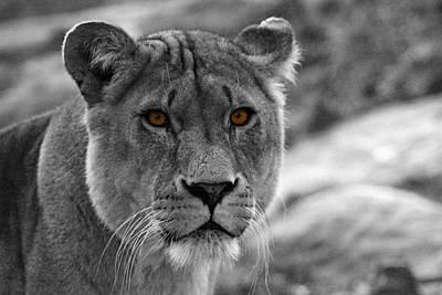 Bigcat Photograph - Lions Eyes by Martin Newman