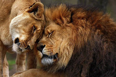 Lions In Love Art Print by Emmanuel Panagiotakis
