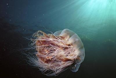 Cyanea Capillata Photograph - Lions Mane Jellyfish Canada by Hiroya Minakuchi