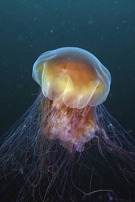 Photograph - Lions Mane Jellyfish Prince William by Hiroya Minakuchi