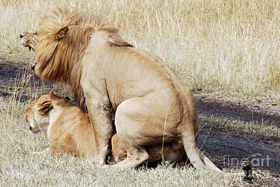 Lions Mating Art Print