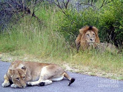 Photograph - Lions Nap Time by Barbie Corbett-Newmin