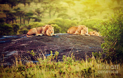 Rest Photograph - Lions On Rocks On Savanna At Sunset. Safari In Serengeti. Tanzania. Africa by Michal Bednarek