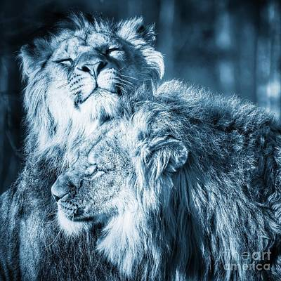 Photograph - Lions Rubbing Heads by Nick  Biemans