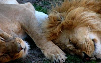 Photograph - Lions Sleeping by Cleaster Cotton