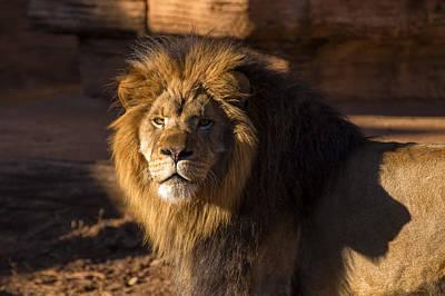 Framed Art Digital Art - Lions Stare by Chris Flees