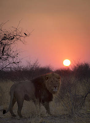 Bigcat Photograph - Lions Sundown by Andy-Kim Moeller