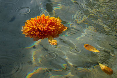 Photograph - Liquid Rainbows - Chrysanthemum Blossom Floating In The Sunlight by Georgia Mizuleva