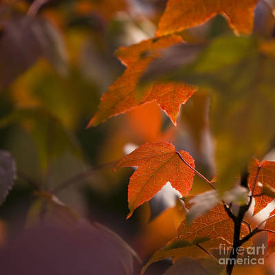 Liquidambar Autumn Art Print by Anne Gilbert