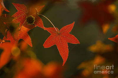 Photograph - Liquidambar Leaf by Ron Sanford