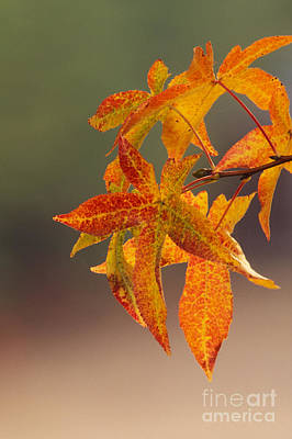 Photograph - Liquidambar Leaves by Ron Sanford