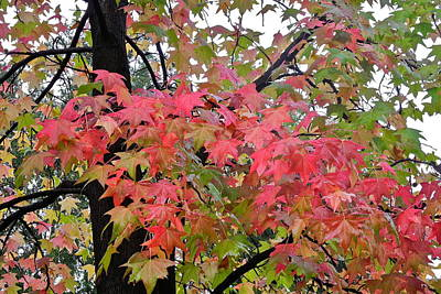Photograph - Liquidambar Tree In The Fall by Kirsten Giving