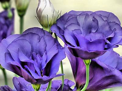 Photograph - Lisianthus by Janice Drew