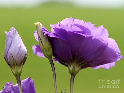 Photograph - Lisianthus Named Echo Blue by J McCombie