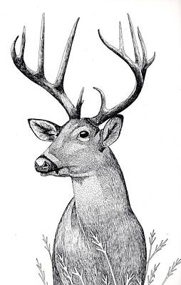 Whitetail Deer Drawing - Listen by Eddy Chance