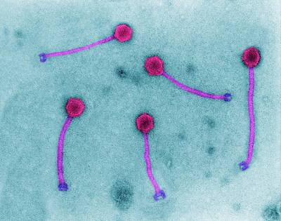 Bacteriophage Wall Art - Photograph - Listeria Bacteriophage by Dennis Kunkel Microscopy/science Photo Library