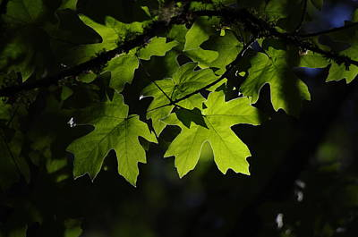 Photograph - Lit Maple by Adria Trail