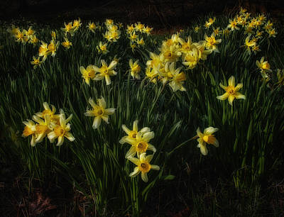 Daffodil's Lit By Setting Sun  Original