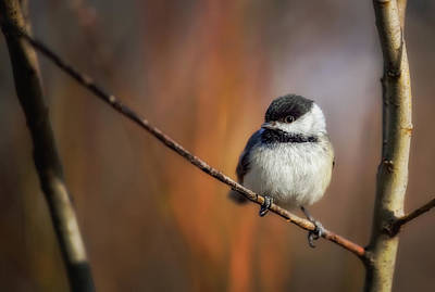 Chickadees Wall Art - Photograph - Litlle thing by Christian Duguay