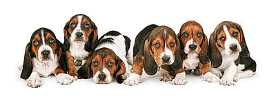 Basset Hound Photograph - Litter Of Basset Hound Puppies by Susan Schmitz