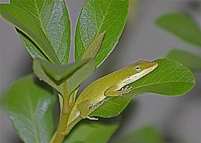 Photograph - Little Anole At Sundown by Jeanne Kay Juhos