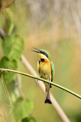 Little Bee-eater Print by Andy-Kim Moeller