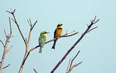 Photograph - Little Bee-eaters by Tony Murtagh