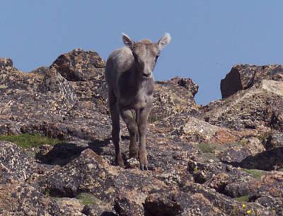 Photograph - Little Big Horn Sheep Looking by Thomas Samida