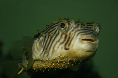 Porcupine Fish Photograph - Little Porcupine Fish by Beth Andersen