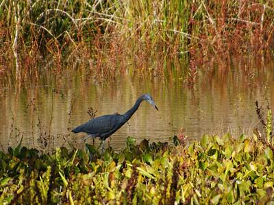 Photograph - Little Blue Heron by Bruce W Krucke