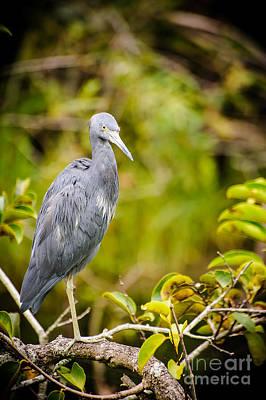 Little Blue Heron Photograph - Little Blue Heron by Charles Dobbs