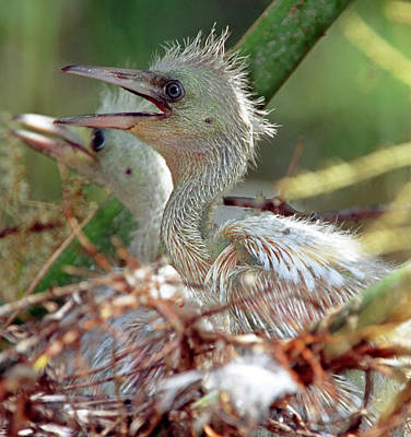 Photograph - Little Blue Heron Chicks by Millard H. Sharp