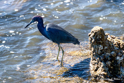 Photograph - Little Blue Heron by Christopher Holmes