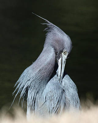 Little Blue Heron Closeup  Art Print by David Lynch