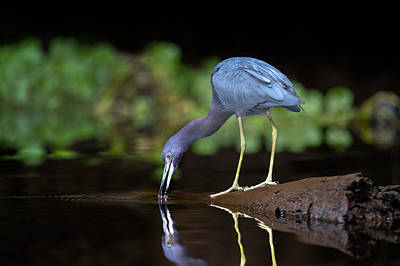 Tortuguero Photograph - Little Blue Heron Egretta Caerulea by Panoramic Images